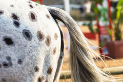 Equestrain Horse Breed Tail Stock Photo