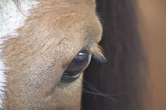 Equestrian Eye Stock Photography