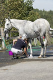 Equestrian - Horse cleaning Royalty Free Stock Image
