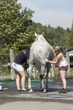 Equestrian - horse cleaning Stock Image