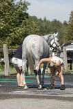Equestrian - horse cleaning Stock Photos