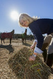 Equestrian Model and Horses. A blonde equestrian model feeds her horses in an outdoor environment Stock Photography