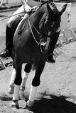 Equestrian Riding - Dressage. Black and white close-up of an equestrian rider performing the Dressage discipline in an outdoor arena (focus point on the rider royalty free stock photos