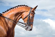 Equestrian sport - dressage head of sorrel horse. On sky nature background Stock Photos