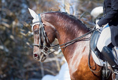 Equestrian sport - dressage head of sorrel horse. On winter nature background royalty free stock image