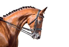 Equestrian sport portrait - dressage head of sorrel horse. Isolate on white background royalty free stock images