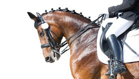 Equestrian sport portrait - dressage head of sorrel horse. Isolate on white background royalty free stock photos