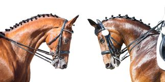 Equestrian sport portrait - dressage head of sorrel horse. Equestrian sport portrait - two dressage head of sorrel horse isolate on white background royalty free stock photo