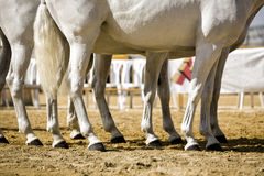 Equestrian test functionality with 3 pure Spanish horses, also called cobras 3 Mares, detail of the legs and hooves Royalty Free Stock Photography