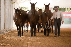Equestrian test functionality with 3 pure Spanish horses Royalty Free Stock Photo