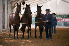 Equestrian test functionality with 3 pure Spanish horses Stock Images