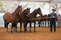 Equestrian test functionality with 3 pure Spanish horses Stock Image