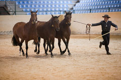 Equestrian test functionality with 3 pure Spanish horses, also called cobras 3 Mares Stock Images