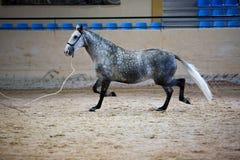 Equestrian test morfologia czyści Hiszpańscy konie Zdjęcie Royalty Free