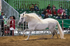 Equestrian test of morphology to pure Spanish horses Stock Images