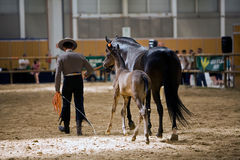 Equestrian test of morphology to pure Spanish horses Royalty Free Stock Images