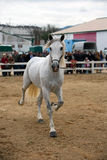 Equestrian test of morphology to pure Spanish horses Stock Photography