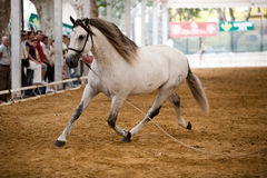 Equestrian test of morphology to pure Spanish horses Royalty Free Stock Photo
