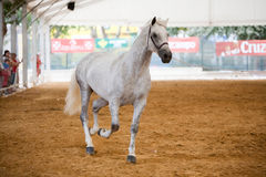 Equestrian test of morphology to pure Spanish horses Royalty Free Stock Photography