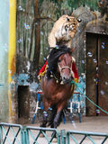 The equestrian tiger of circus Stock Photos