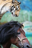 The equestrian tiger of circus. The tiger and horse of circus in a zoo Royalty Free Stock Photo