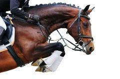 Equestrianism: Fjärdhäst i banhoppningshowen som isoleras Arkivfoto