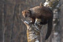 Equilibri di pennanti di Fisher Martes sul tronco di albero Fotografia Stock Libera da Diritti