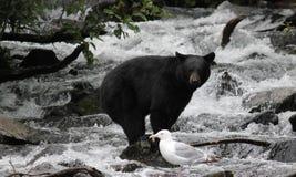 Equilibrio del oso negro Fotografía de archivo