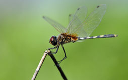 Equilibrio della libellula Fotografia Stock