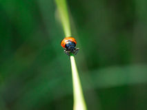 Equilibrium. A beetle creeps on a grass.background green - washed out by the lenses of lens Royalty Free Stock Photos
