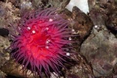 Equina de la actinia de la anémona de mar de Zool Fotografía de archivo