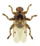 Equina del Hippobosca de la mosca de piojo Fotografía de archivo libre de regalías