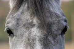 equine ögon Arkivfoto