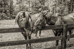 Equine Adoration Royalty Free Stock Photo