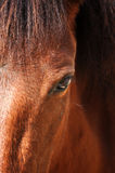 Equine eye. The equine eye is the largest of any land mammal Royalty Free Stock Photos