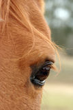 Equine eye. Close up of a horse eye Stock Photography