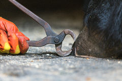 Equine farrier at work. Blacksmith, or equine farrier, nails a horse shoe to a horse's hoof, close up stock image