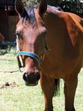Equine life. Equine bay beauty royalty free stock photo