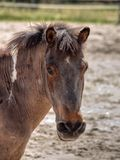 Equine look. Steady gaze of a horse, when called Stock Image