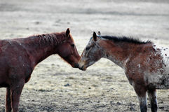 Equine Love. Two horses face to face in pasture in moment of peace and love Stock Photos