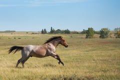 Equine Spirit horse. Bay roan quarter horse stallion running in green pasture Stock Photo