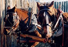 Equine Team. Team of Quarter Horse Mares Royalty Free Stock Photos