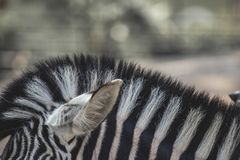 Equine zebra head hair striped on a close up still. On a blurry background stock images