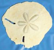 Equinodermo equinoideo del ` de arena del ` muy grande del dólar de la isla de Masirah, Omán, el Océano Índico imagen de archivo