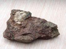 Equinodermos fossilizados antigos fotografia de stock royalty free