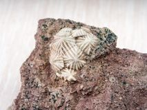 Equinodermos fossilizados antigos perto acima fotos de stock royalty free