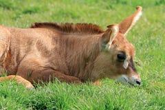 Equinus rouan de Hippotragus d'antilope Images libres de droits
