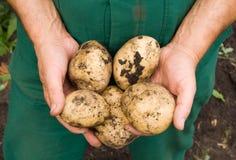 Equipa as mãos que prendem batatas escavadas Fotografia de Stock Royalty Free