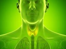 Equipa a gl?ndula de tiroide imagem de stock