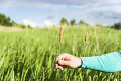 Equipa a mão que guarda a espiga de florescência das plantas em um campo verde Fotografia de Stock